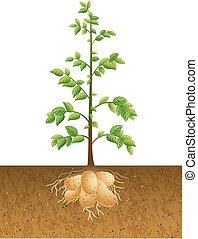 pommes terre, plante, racine
