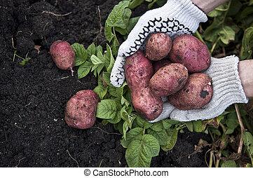pommes terre, rouges, fraîchement, mains