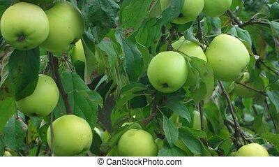 pommes, vidéo, organique, vert, 1920x1080, arbre.