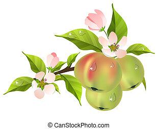 pommier, pommes vertes, branche, frais