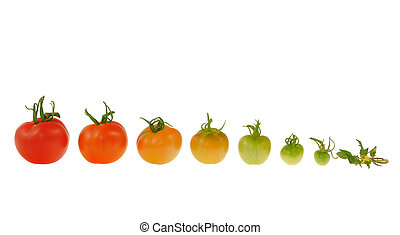 pomodoro, evoluzione, isolato, fondo, bianco rosso