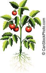 pomodoro, fresco, albero