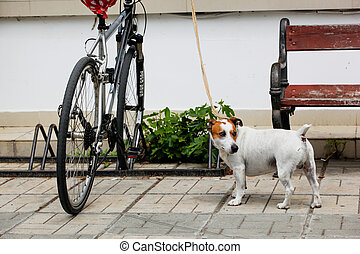 Pomorie, Bulgaria - May 01, 2020: Jack Russell Terrier Stands By The Bike And Waits For His Owner