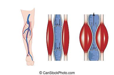 pomp, muscle, kalf