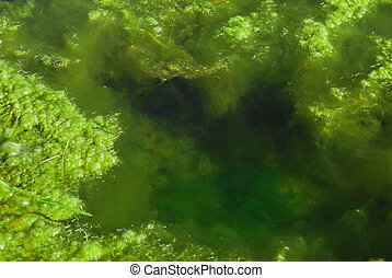pond algae - green algae in pond water