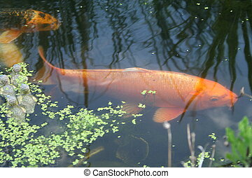 Pond and big goldfish. - Large goldfish in a fishpond, with ...