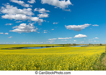 Pond and yard with a canola field in bloom