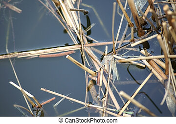Pond Closeup with reed