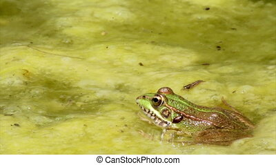 Pond Frog Jump C - Commun frog, siting in garden pond edge...