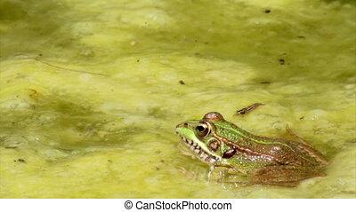 Pond Frog Jump C - Commun frog, siting in garden pond edge...