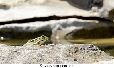 Pond Frog Jump D - Commun frog, siting in garden pond edge...