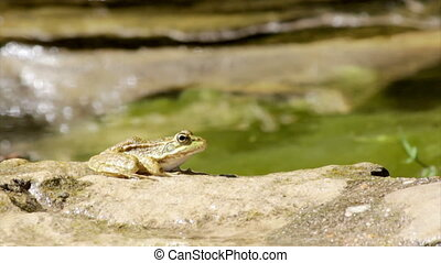 Pond Frog Jump E - Commun frog, siting in garden pond edge...