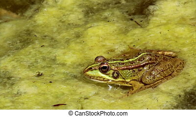 Pond Frog Jump F - Common frog, sitting in garden pond edge...
