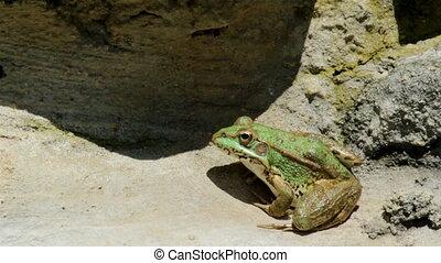 Pond Frog Jump I - Common frog, sitting in garden pond edge...