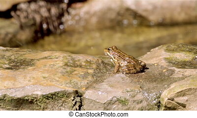 Pond Frog Jump J - Common frog, sitting in garden pond edge...