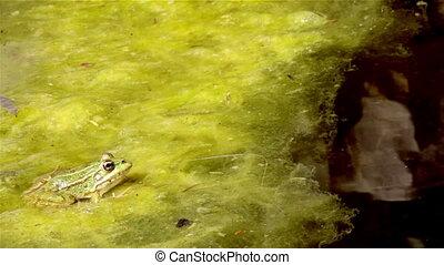 Pond Frog Jump K - Common frog, sitting in garden pond edge...