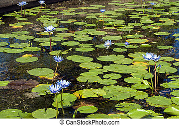 Pond Full of Lilly Pads with Blue Flowers