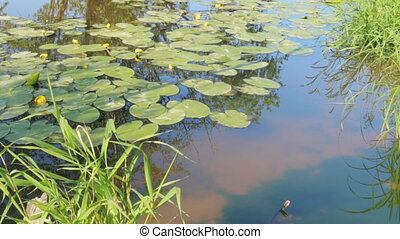 Pond in nature with water lilies summer - Pond in nature...