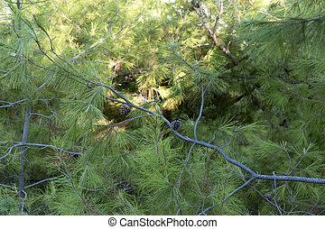Pond pine. Pinus serotina. Coniferous close up background...