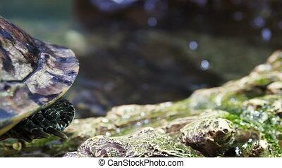 Pond slider, Trachemys scripta, common medium-sized...