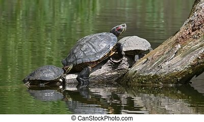 Couple of Red Eared Terrapin Turtles AKA Pond Slider with baby - Trachemys scripta elegans having a sunbath on tree trunk in water