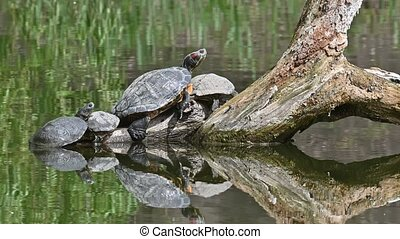 Red Eared Terrapin Turtles AKA Pond Slider - Trachemys scripta elegans having a sunbath on tree trunk in water