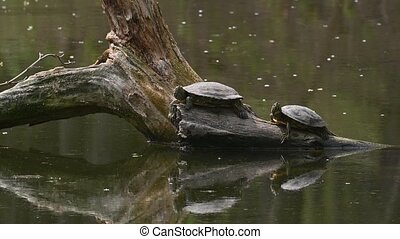 Two Red Eared Terrapin Turtles AKA Pond Slider - Trachemys scripta elegans having a sunbath on driftwood in water