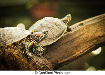 Pond terrapin on a white