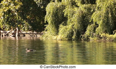 Pond Willow Trees and Ducks - Pond, willow trees and ducks....