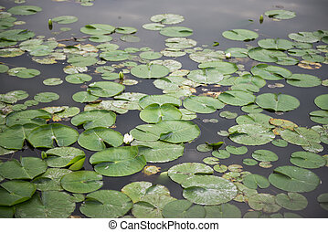 Pond with Lilypads - Pond with Green Lilypads on Water