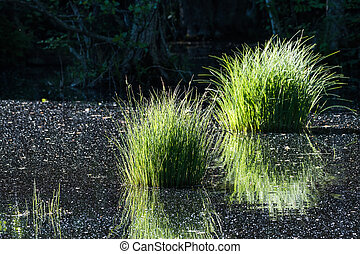 Pond with reflecting grass tufts