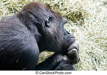 Pondering Monkey - Thinking, thoughtful, pondering monkey.