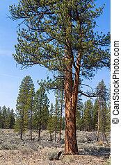ponderosa pine - A beautiful ponerosa pine (pinus ponderosa...