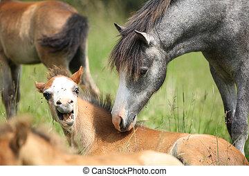 poney, poulain, réunion, effrayé, jeune
