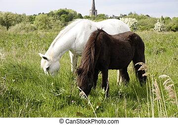 poneys, fells