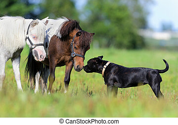 Ponies and a dog in field