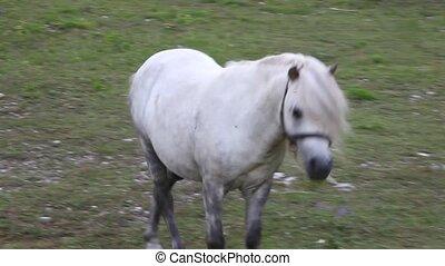 Ponies grazing - Two Ponies grazing - Nanos mountain,...