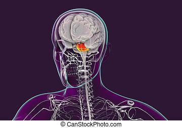 Pons highlighted inside human brain, 3D illustration