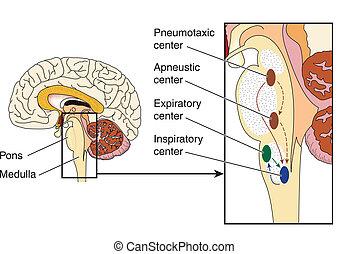 Pons respiratory centers