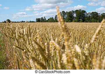 pontas, trigo, field..