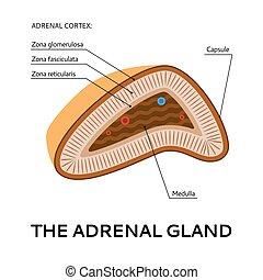 ponto, ilustração médica, glândula, adrenal, esquema, vista