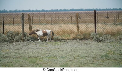 pony breed horse in the pasture - pony breed horse on a...