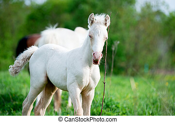pony cream foal in the meadow
