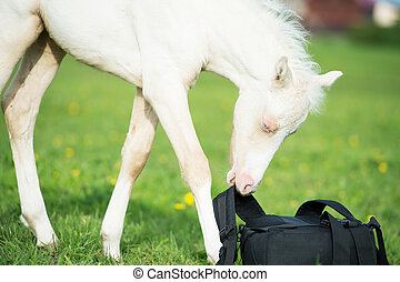 pony cream foal with backpack in the meadow