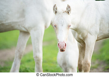 pony cream foal with mom in the meadow