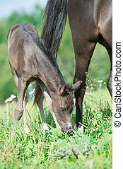 pony foal with mom in the meadow