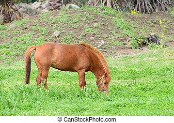 pony, grünes feld