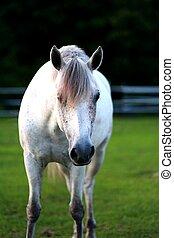 pony, grau