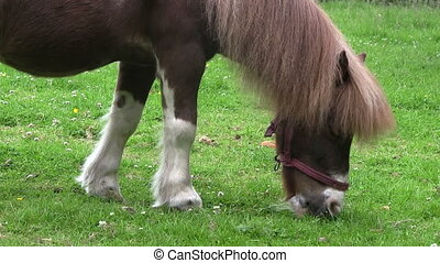 Pony grazing in a field