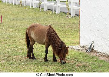 Pony grazing in the farm.